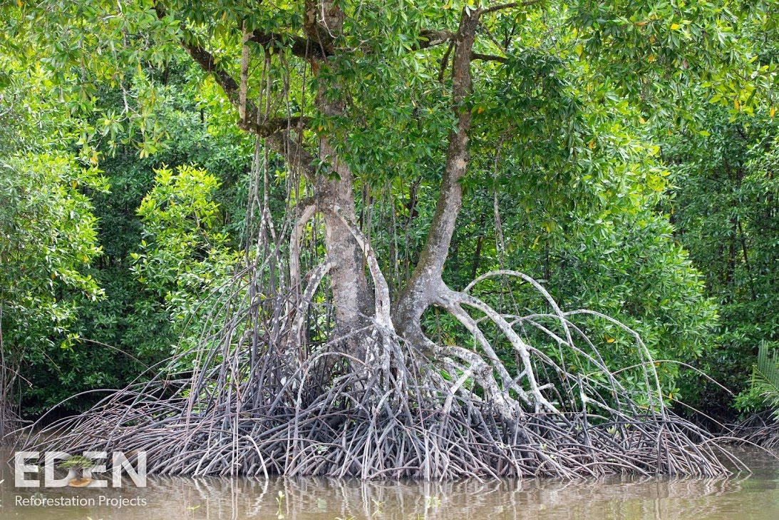 Indonesia_2018_Giant mangrove